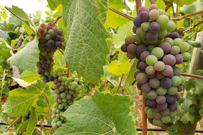 Grapes on the vines beginning to ripen and change color.