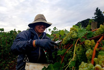 Vineyard worker harvesting grapes.