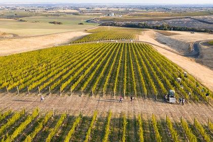 Pambrun vineyard from above at harvest