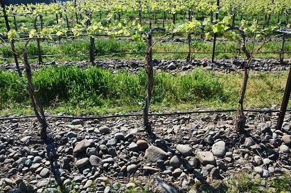 Vines in The Rocks AVA in Walla Walla
