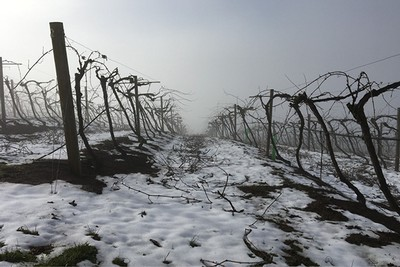 Dormant vines with snowfall.