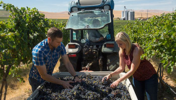 Winemaker Jon Meuret and Winery Director Christine Collier Clair harvest Cabernet Sauvignon grapes